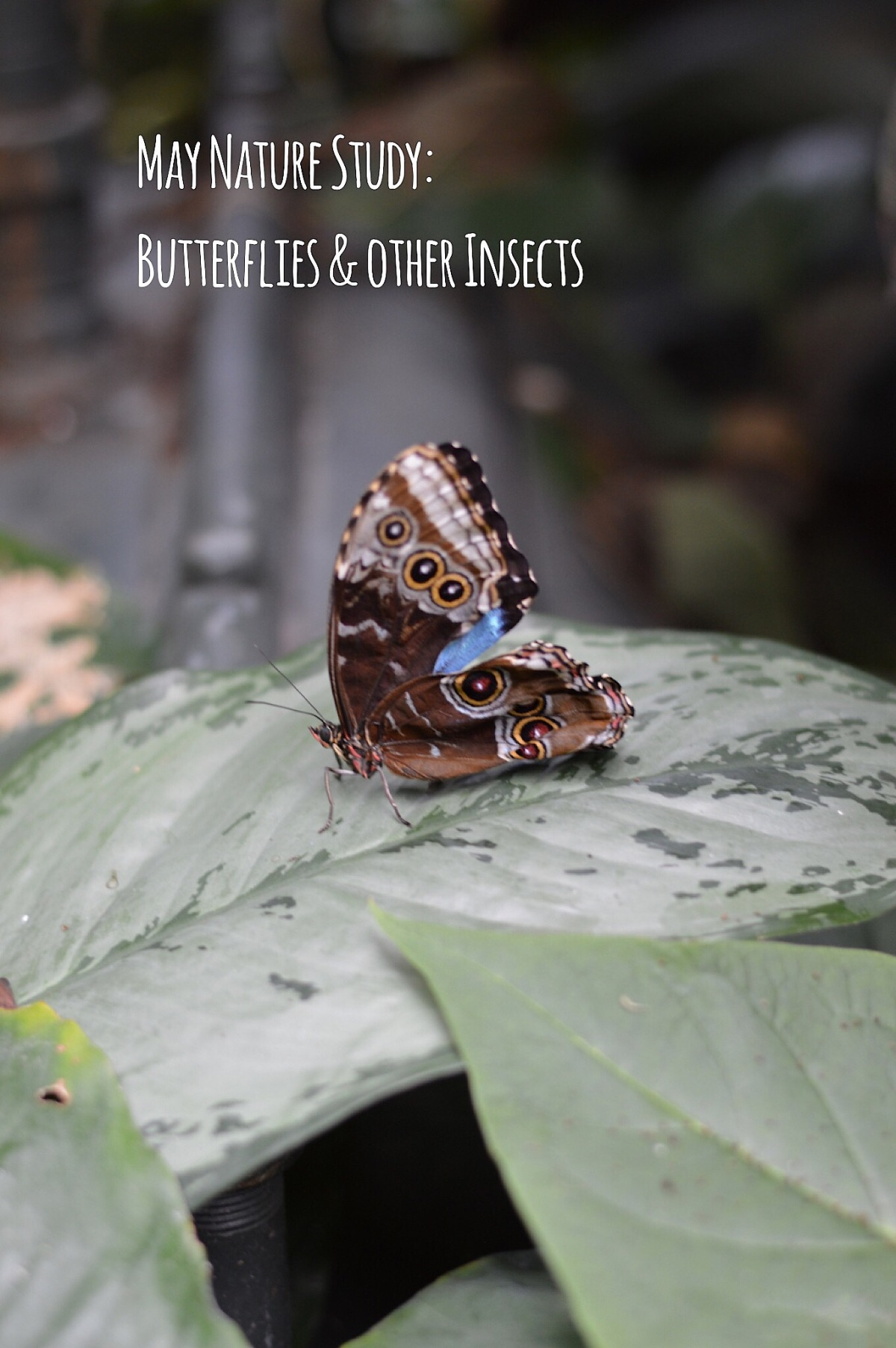 May Nature Study: Butterflies and other Insects
